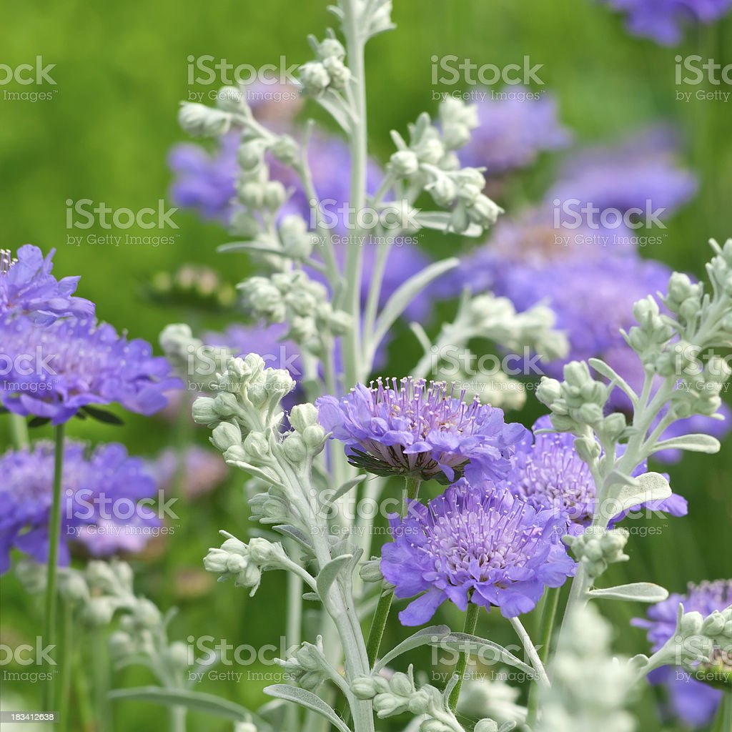 Pincushion Flower: Scabiosa 'Butterfly blue' with Artemisia - III stock photo