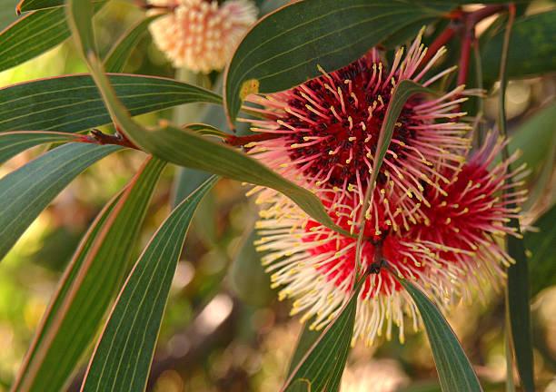 pin-coussin hakea - culture australienne photos et images de collection