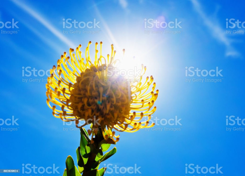 Pincushion protea backlit by bright sun stock photo