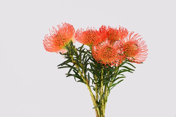 pincushion protea - protea strauß stock-fotos und bilder