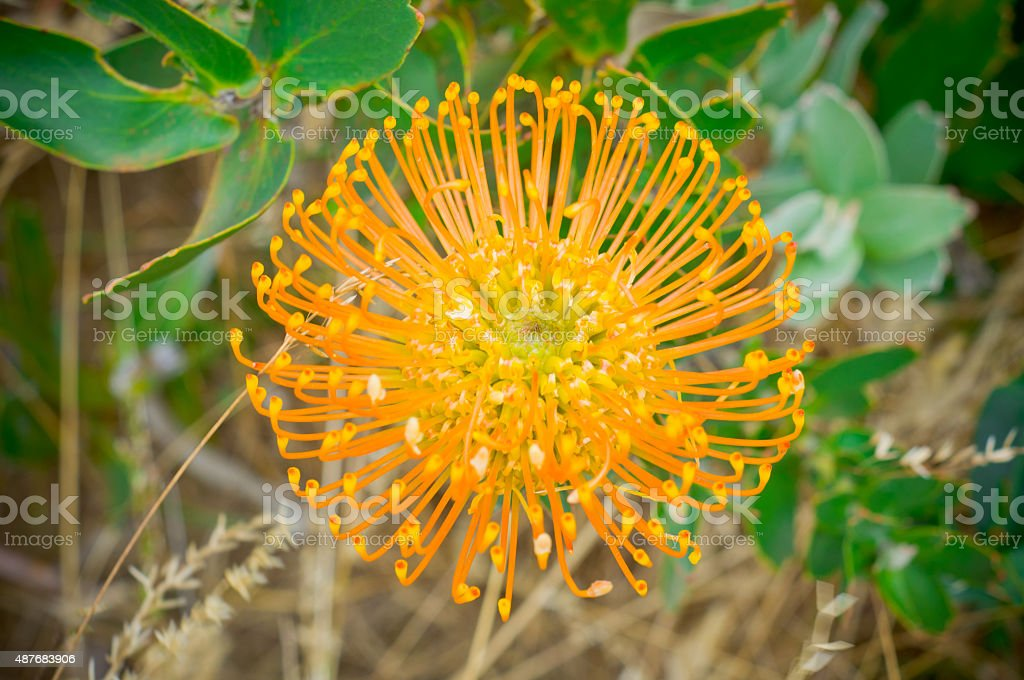 Pincushion Protea Standford