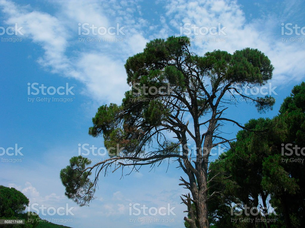 Pine and cloudscape stock photo
