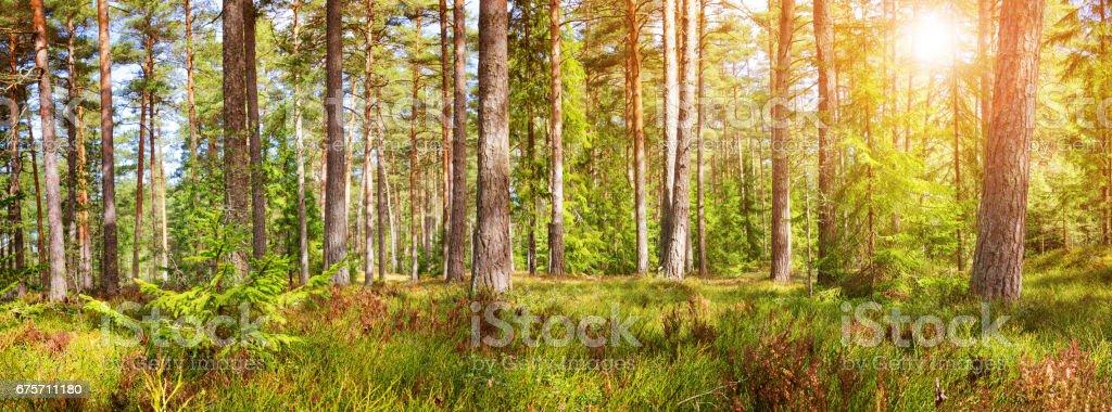 松樹和冷杉森林全景 免版稅 stock photo