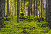 istock Pine and fir forest with moss covered rocks 1270070179
