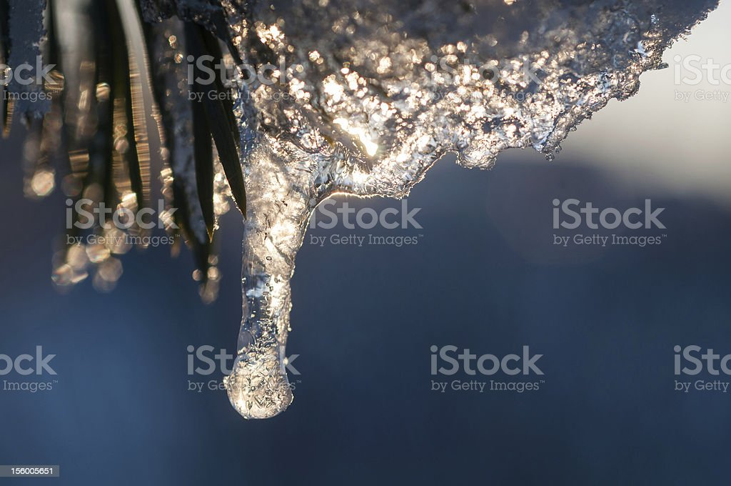 Pine and ice royalty-free stock photo