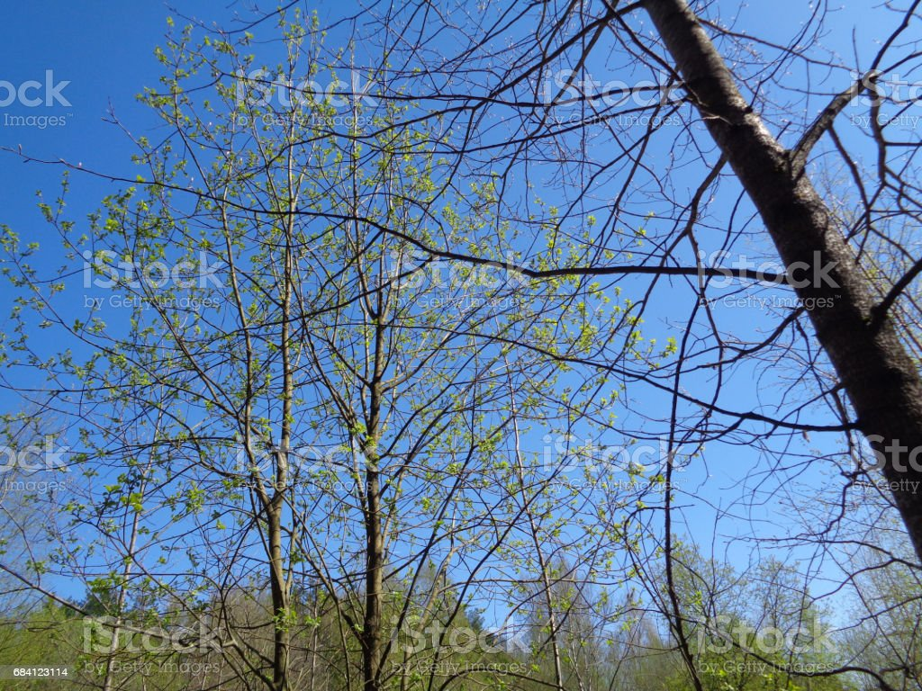 Grenen en vuren bos in de Oblast Moskou (Moskovskaja Oblast, Podmoskovye) in het voorjaar. Flora en de wilde natuur van Rusland royalty free stockfoto