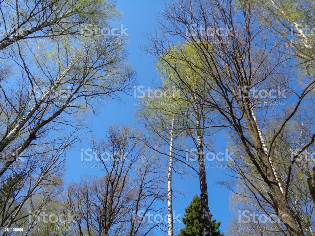 Pine and spruce forest in Moscow Oblast (Moskovskaya Oblast, Podmoskovye) in Spring. Flora and wild nature of Russia foto stock royalty-free