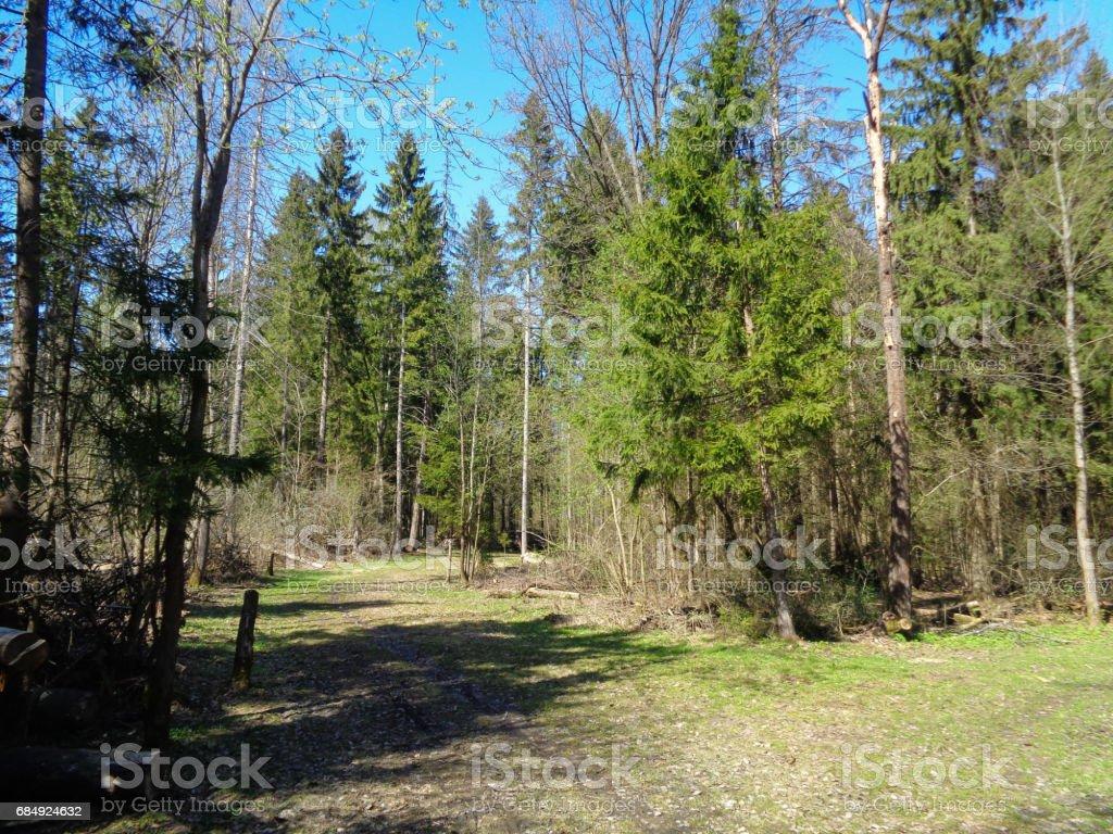 Kiefer und Fichte Wald in Moskauer Oblast (Moskovskaya Oblast, Podmoskovye) im Frühjahr. Flora und wilde Natur der Russischen Föderation Lizenzfreies stock-foto