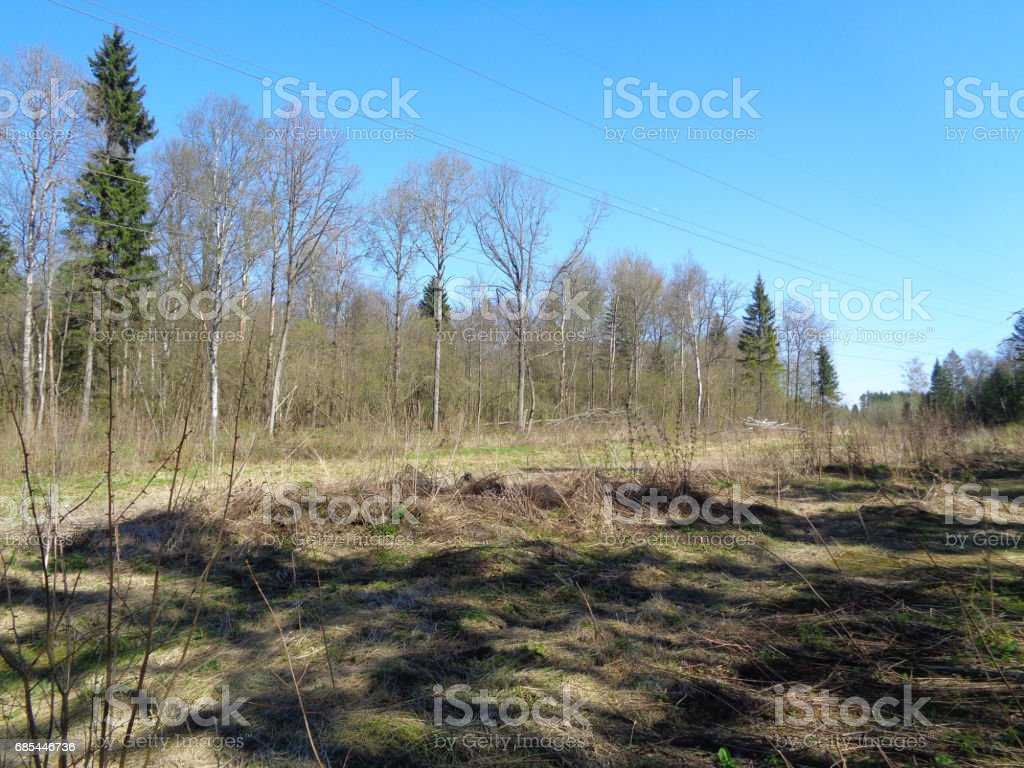Pine and spruce forest in Moscow Oblast (Moskovskaya Oblast, Podmoskovye) in Spring. Flora and wild nature of Russia foto de stock royalty-free
