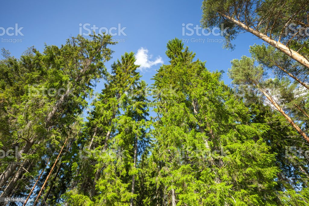 Pine and spruce over bright blue sky background stock photo