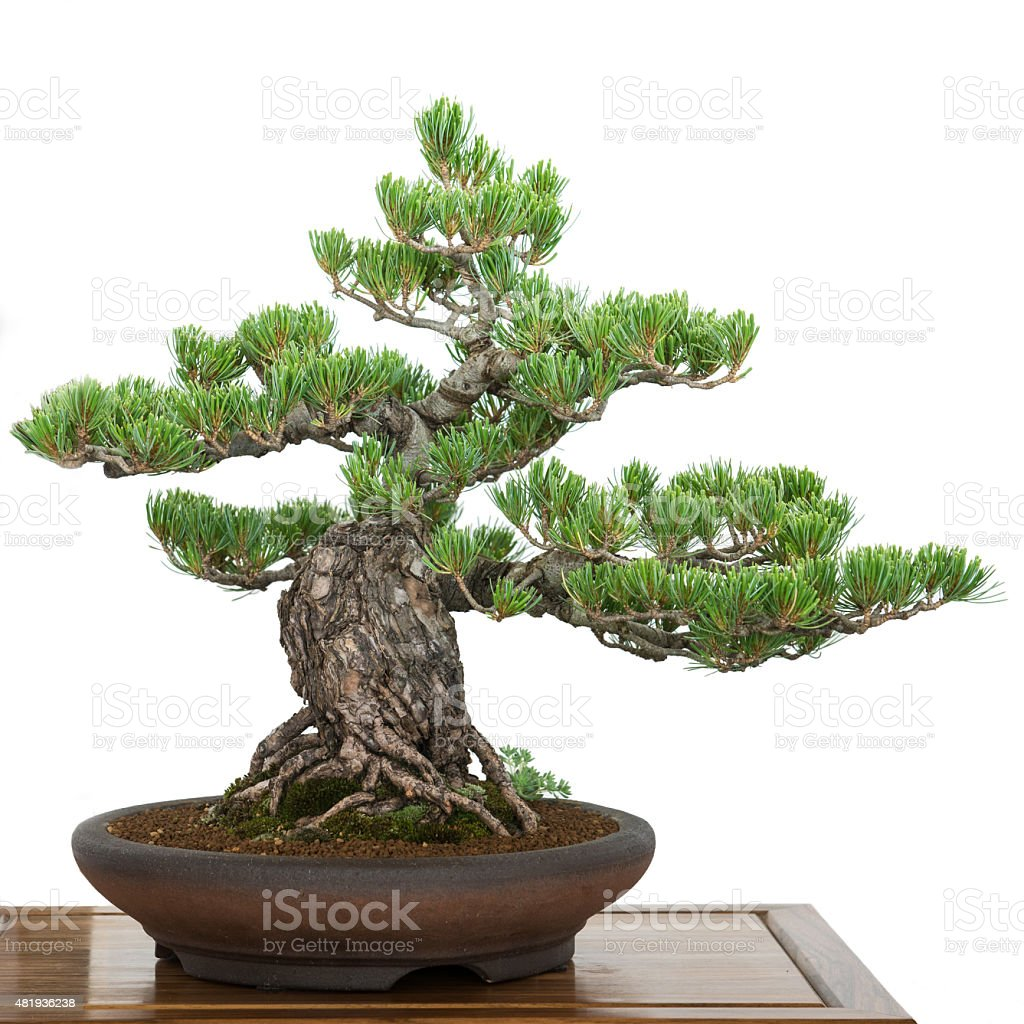 Pine wie old bonsai – Foto