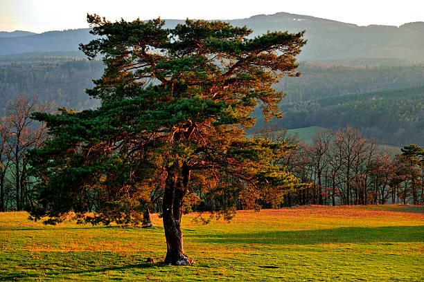 pine (pinus silvestris) at green meadow - fur bildbanksfoton och bilder