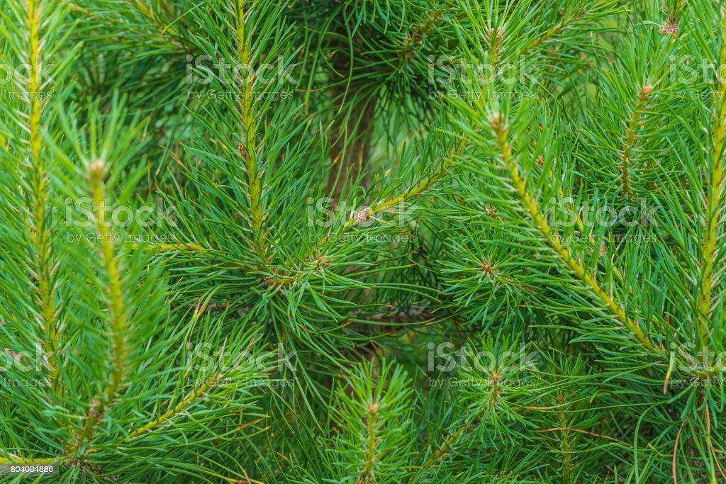 pine background stock photo