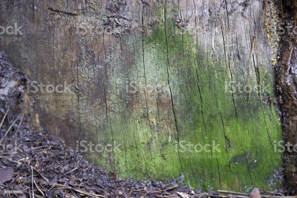 Pine bark coated with green moss macro. stock photo