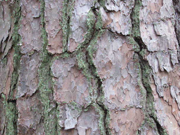 pine bark - dianna dann narciso stock pictures, royalty-free photos & images
