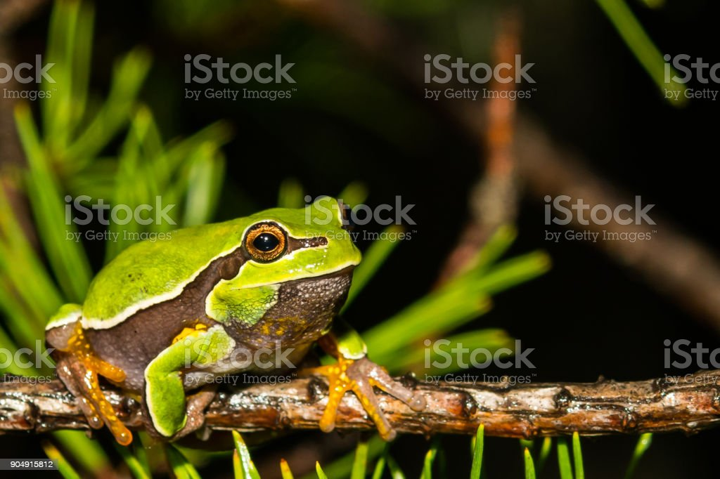 Pine Barrens Tree Frog stock photo