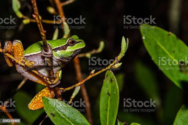 Photo of Pine Barrens Treefrog