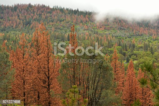 Pine trees dying from drought and pine beetle