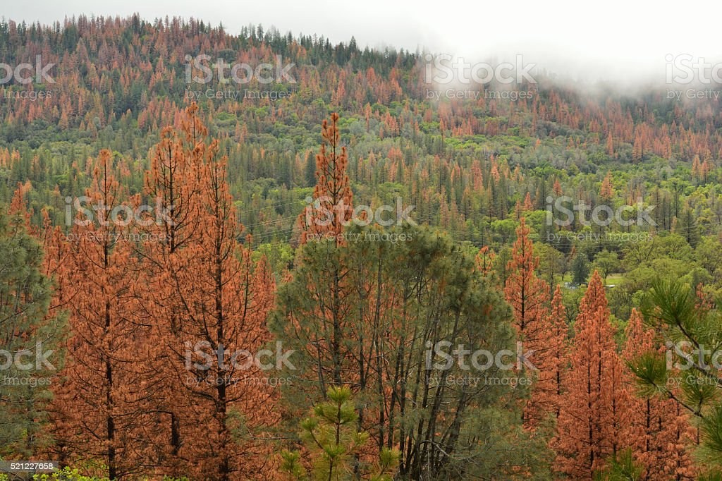 Pine Beetle Forest Damage stock photo