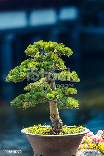 Pine bonsai in a pot in the sunlight. Small decorative pine. A sample of landscape art in China. Chinese gardening and landscaping