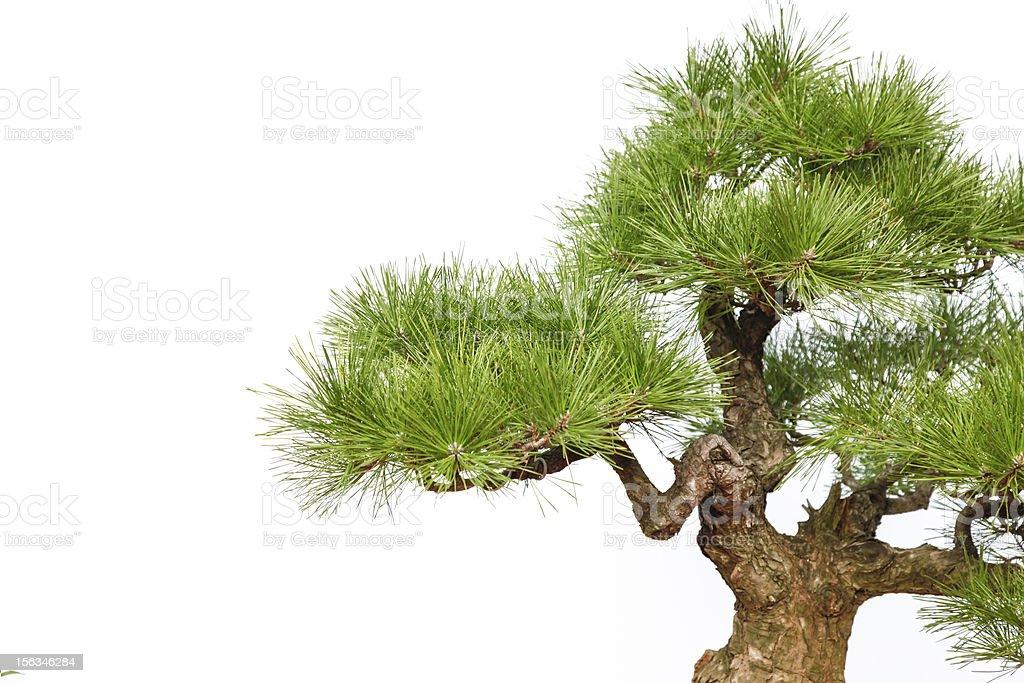 Pine bonsai auf Weiß (Teil) – Foto