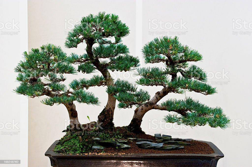 Pine bonsai – Foto