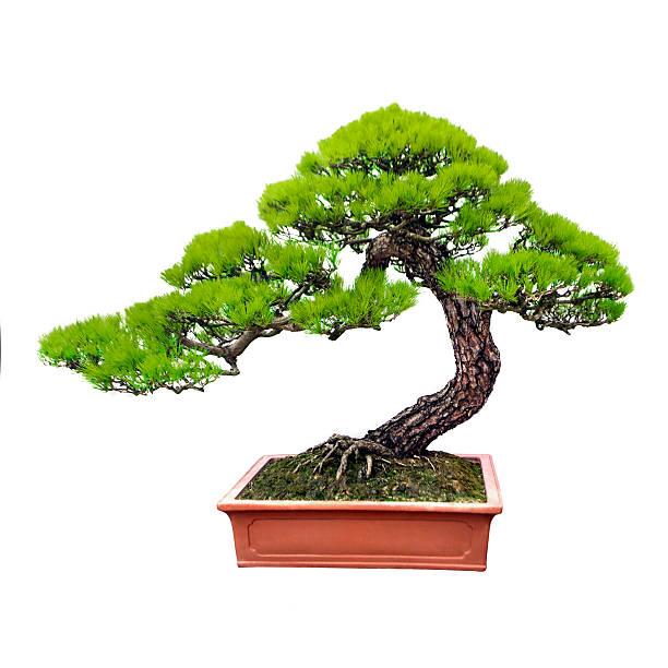 Pine Bonsaï - Photo