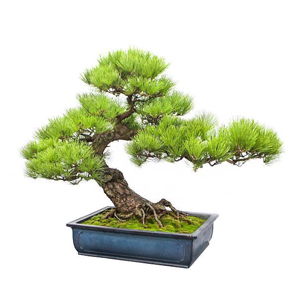 Pine bonsai tree - Photo