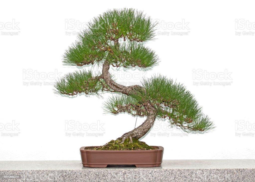 Pine Bonsai Tree Stock Photo Download Image Now Istock