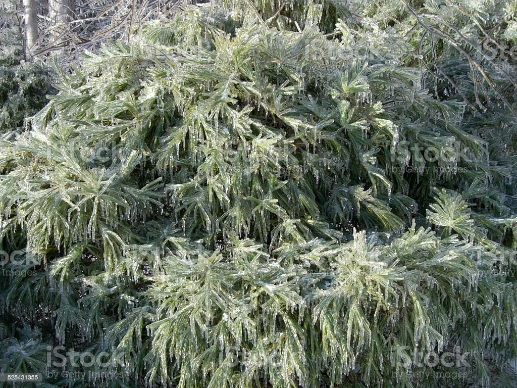 Pine Boughs and Ice stock photo