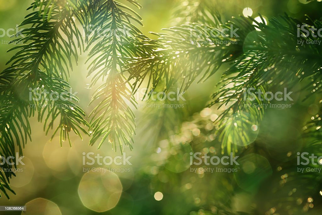 pine braches with glittering light stock photo