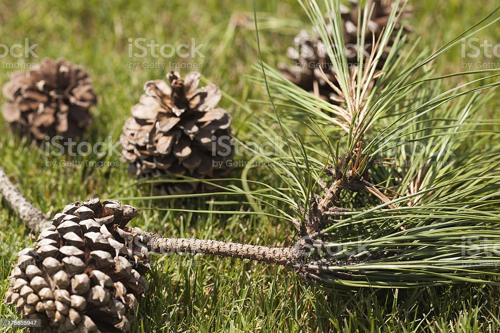 Four pine cones and a pine tree branch lay on the green grass in...