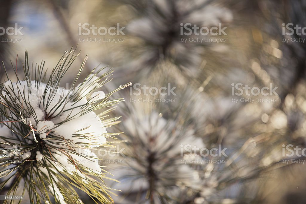 Pine Branch and Snow royalty-free stock photo