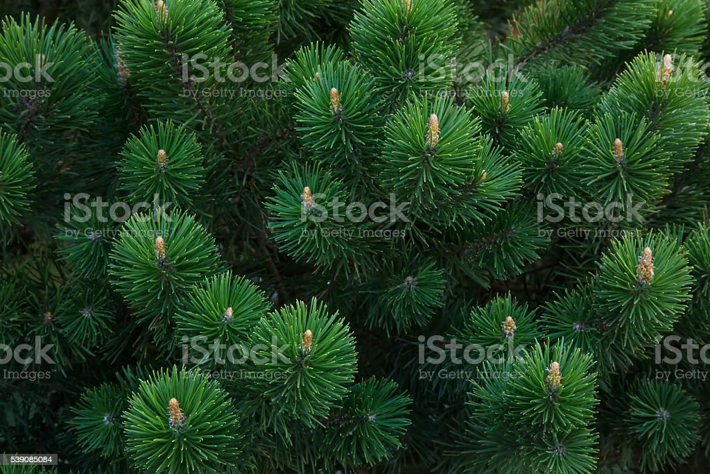 Pine branch background stock photo