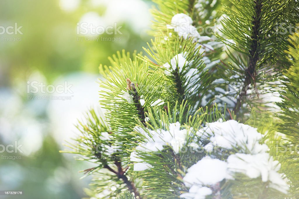 Pine branch closeup royalty-free stock photo