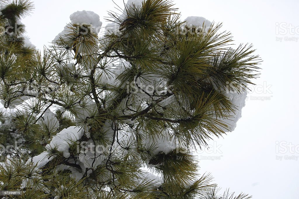 Pine Branch in the Snow royalty-free stock photo