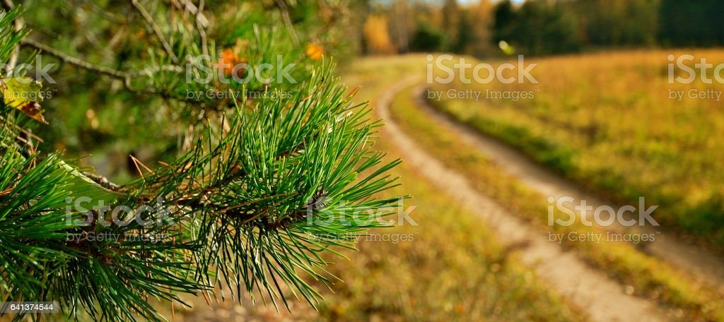 Pine branch on background of country road стоковое фото