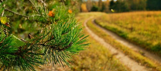 Cтоковое фото Pine branch on background of country road