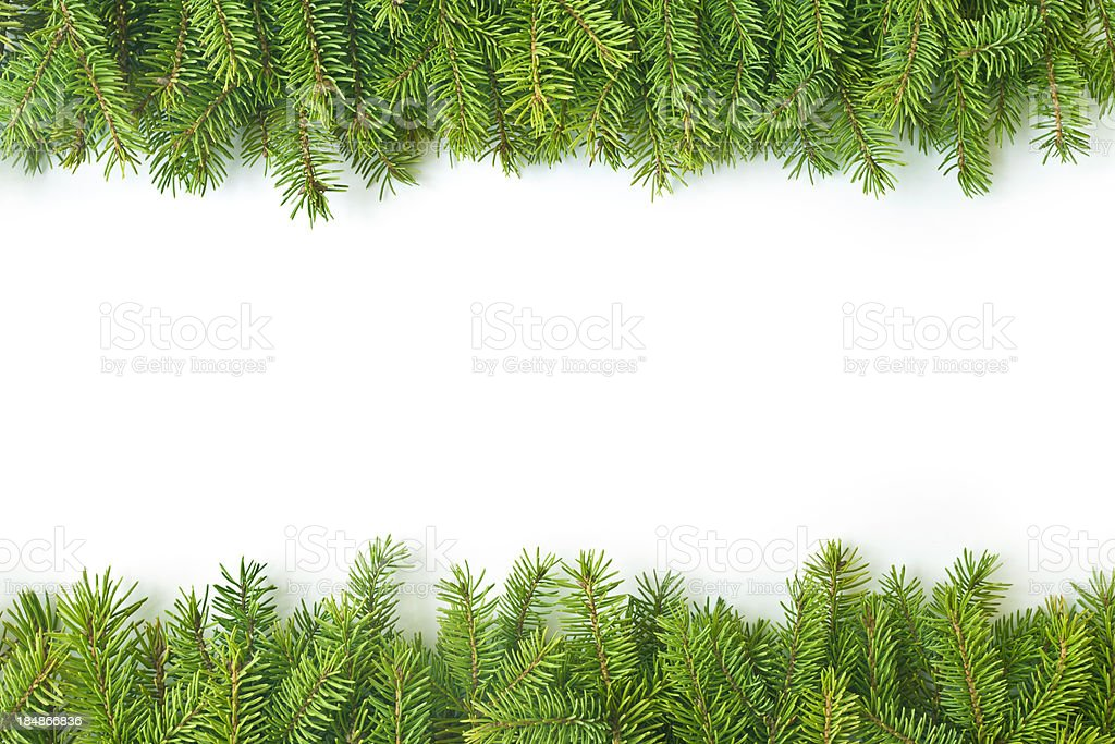 Pine branch stock photo