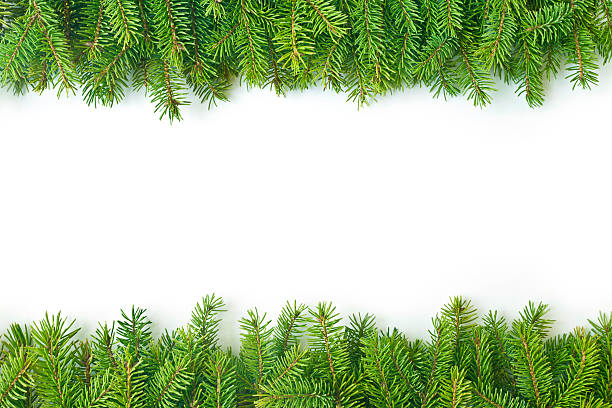Pine branch Pine branch isolated on white background fir tree stock pictures, royalty-free photos & images