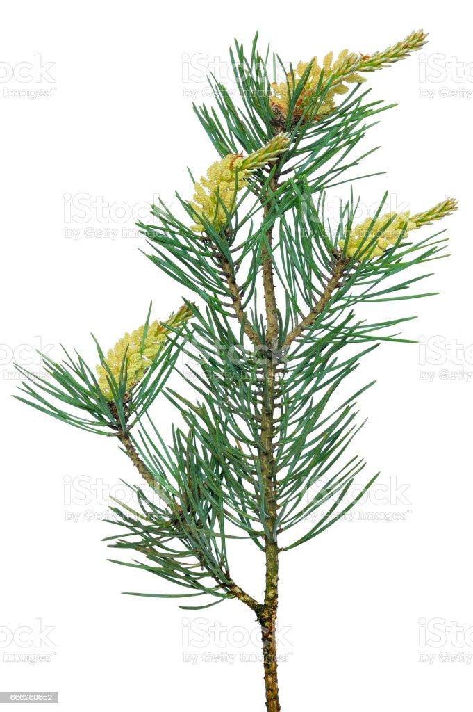 Pine (Pinus sylvestris) branch stock photo