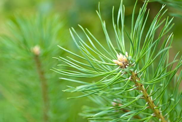 pine  branch - fur bildbanksfoton och bilder