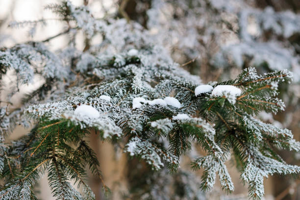 Pine branch snow fell in a wonderful winter day stock photo