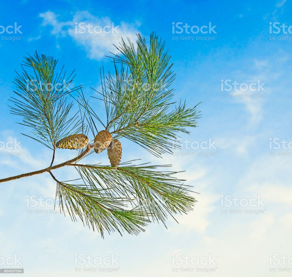 Pine branch with cone on sky background stock photo