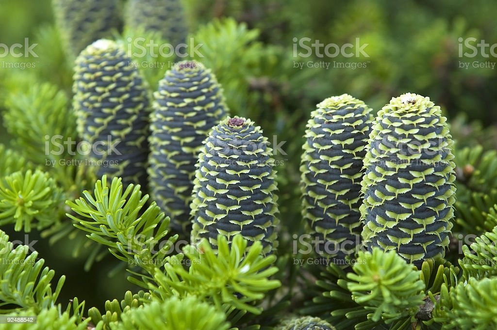 pine branch with cone royalty-free stock photo