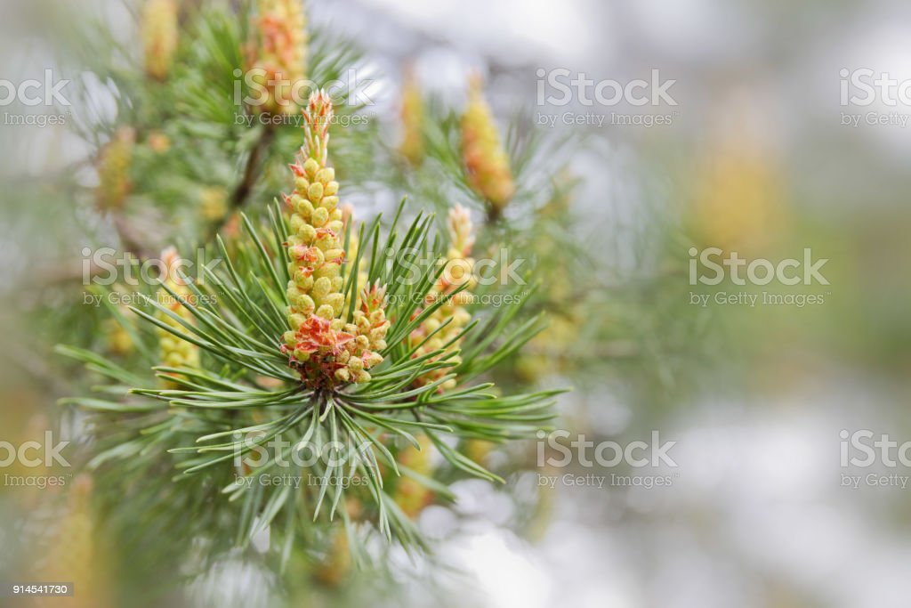 pine branch with cones in spring stock photo