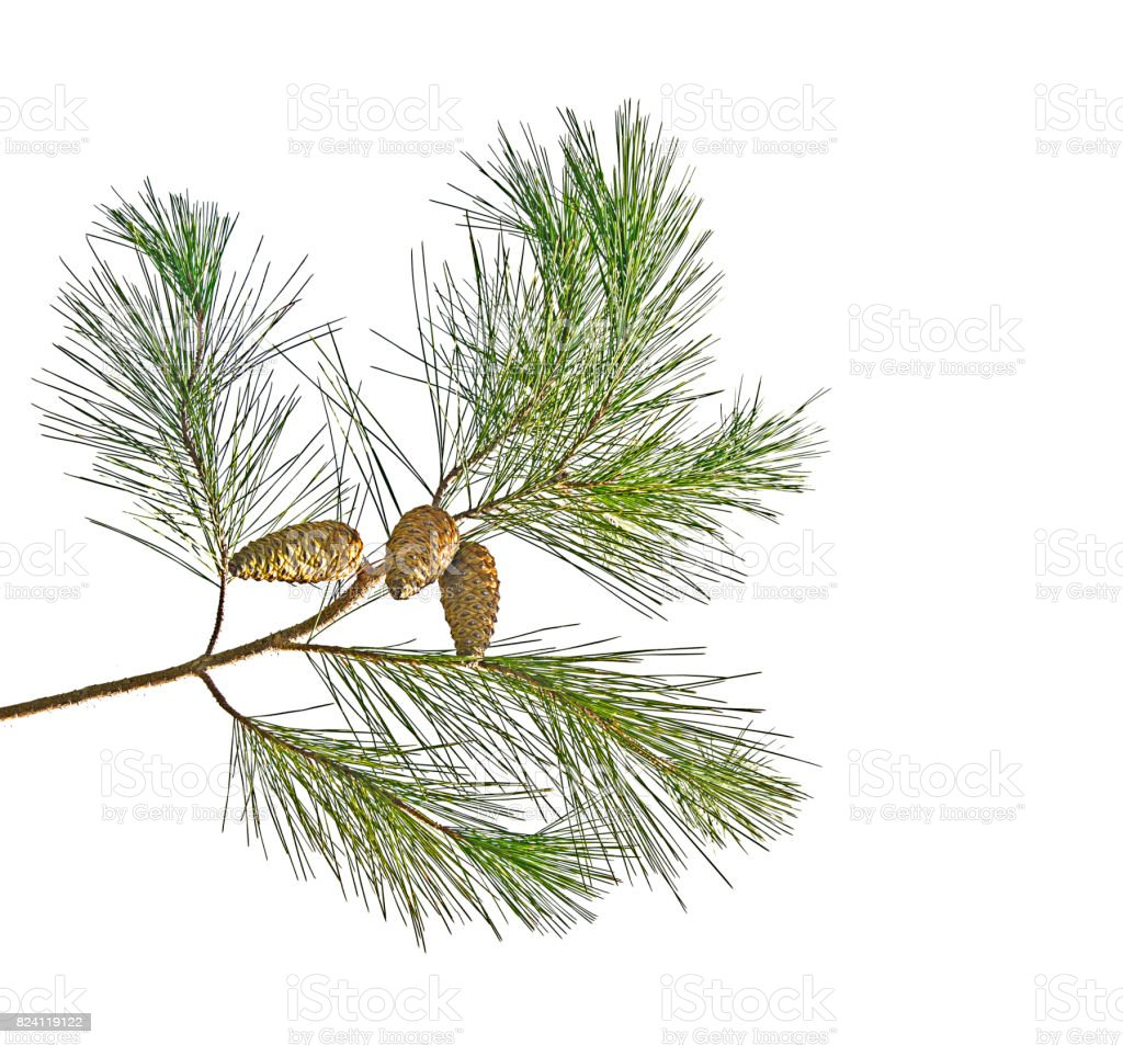 Pine branch with cones isolated on white background stock photo