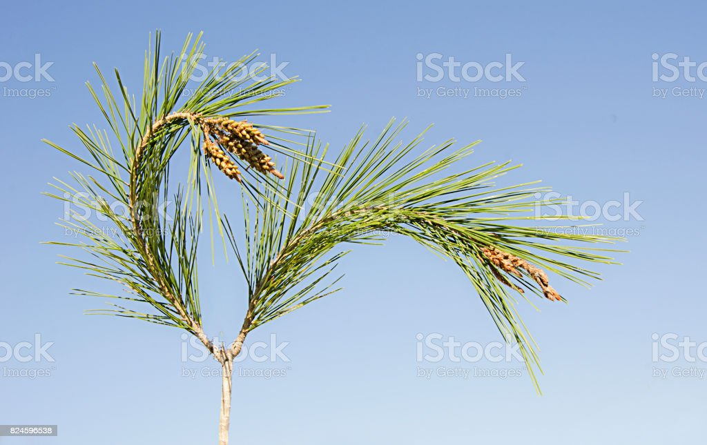 Pine branch with cones stock photo