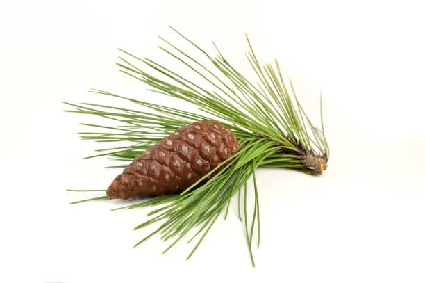 pine branch mit hütchen - kiefernzapfen stock-fotos und bilder