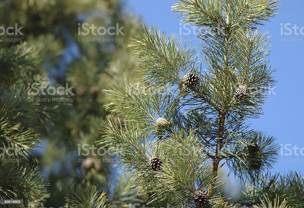 Pine branch with cones royalty-free stock photo